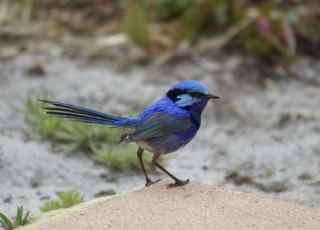blue bird 1