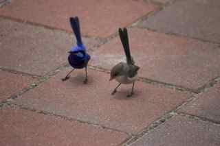 blue birds dancing