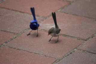 blue birds dancing