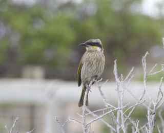 nul bird