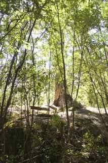tree in rock 3