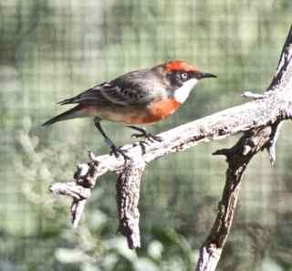 alice bird 10