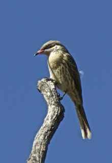 alice bird copy