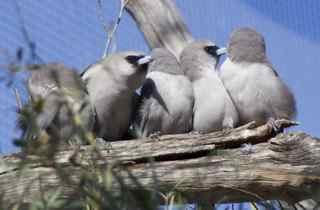 alice birds 11