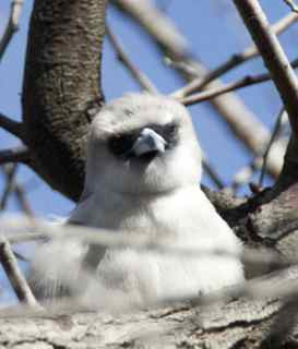 alice birds 12