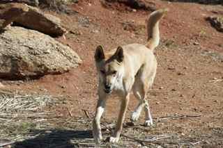 alice dingo