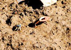 crabs-1